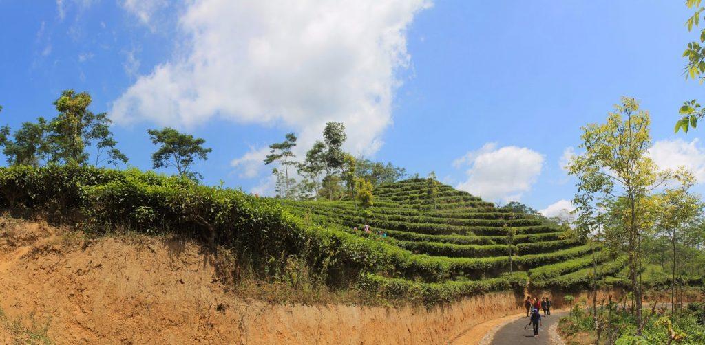 kebun teh Nglinggo Yogyakarta