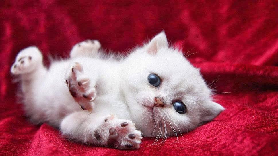 cat pet kitty white gift valentine
